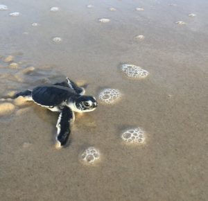 Green sea turtle hatchling on sand at Cape Hatteras National Seashore