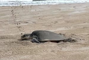 A rare Kemp's ridley sea turtle digs her nest on the beach of Cape Hatteras National Seashore.