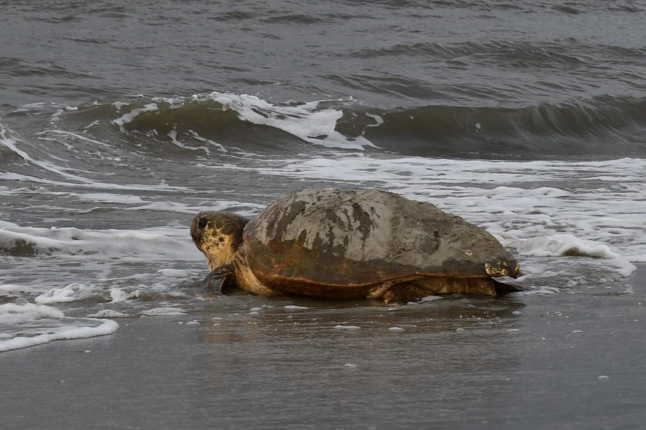 A female loggerhead sea turtle makes her way into the waves on Cape Hatteras National Seashore.